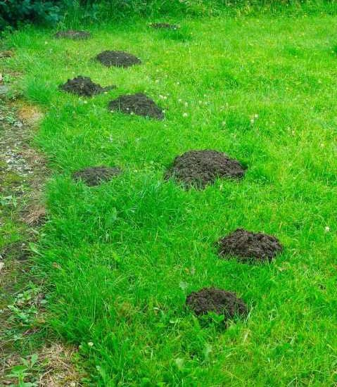Remember that cute mole? Not so cute now Huh?! Prevent damage with yard mole removal