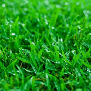 A vibrant lawn all starts with choosing the right grass.