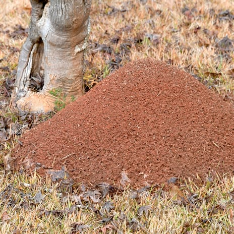 Fire ant extermination to eradicate ant mounts
