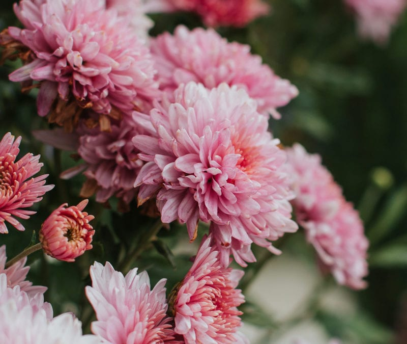Chrysanthemums are some of the best pest-repelling plants and can help with your outdoor pest control services from Environmental Turf Management here in Georgia.
