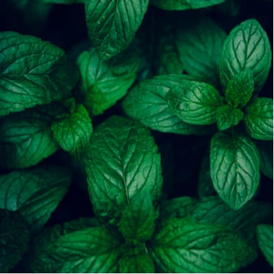 Add mint and other pest-repelling plants to your Georgia garden this spring.