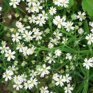 mouse ear chickweed