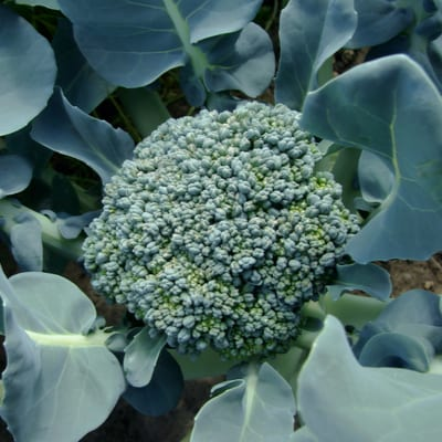 broccoli growing in the ground
