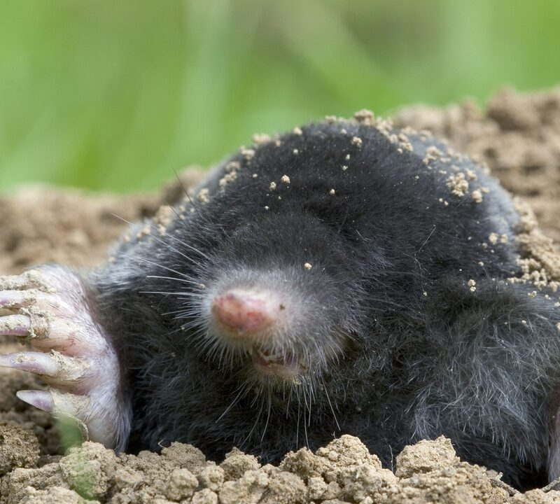 mole in dirt